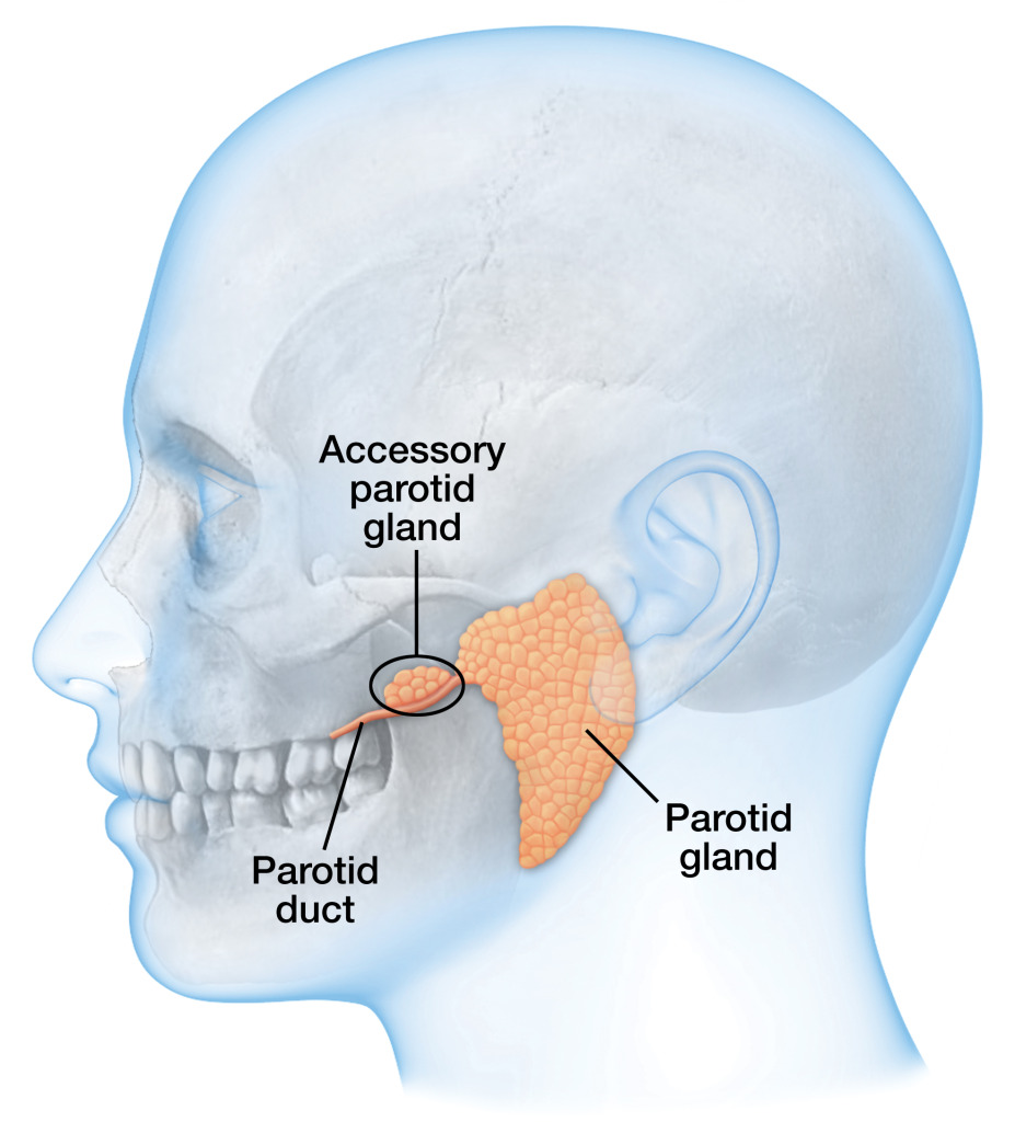 Accessory Parotid Gland