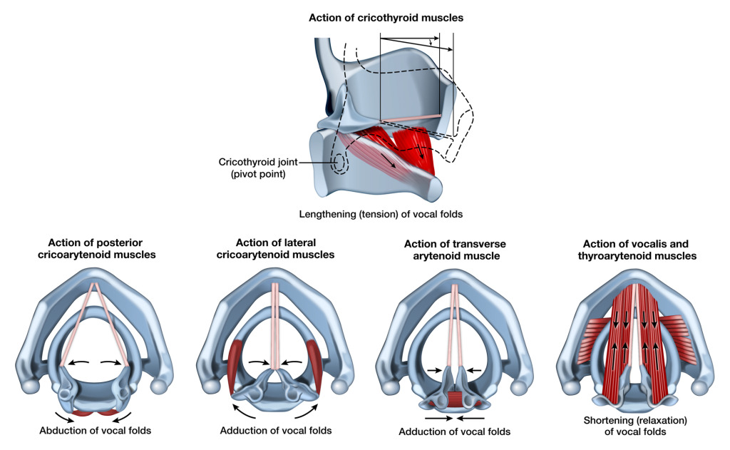 Muscular Action of Larynx
