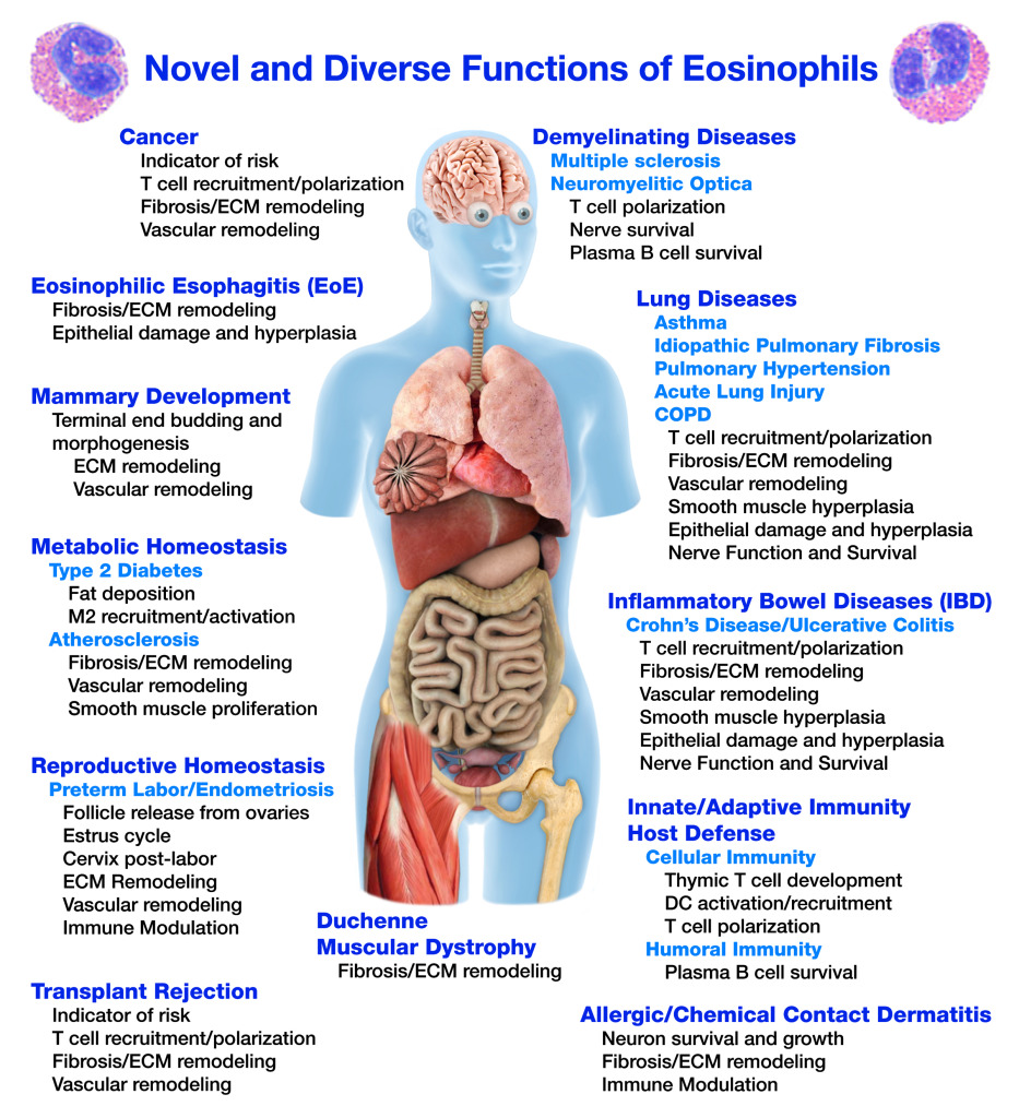 Functions of Eosinophils (Full Body)