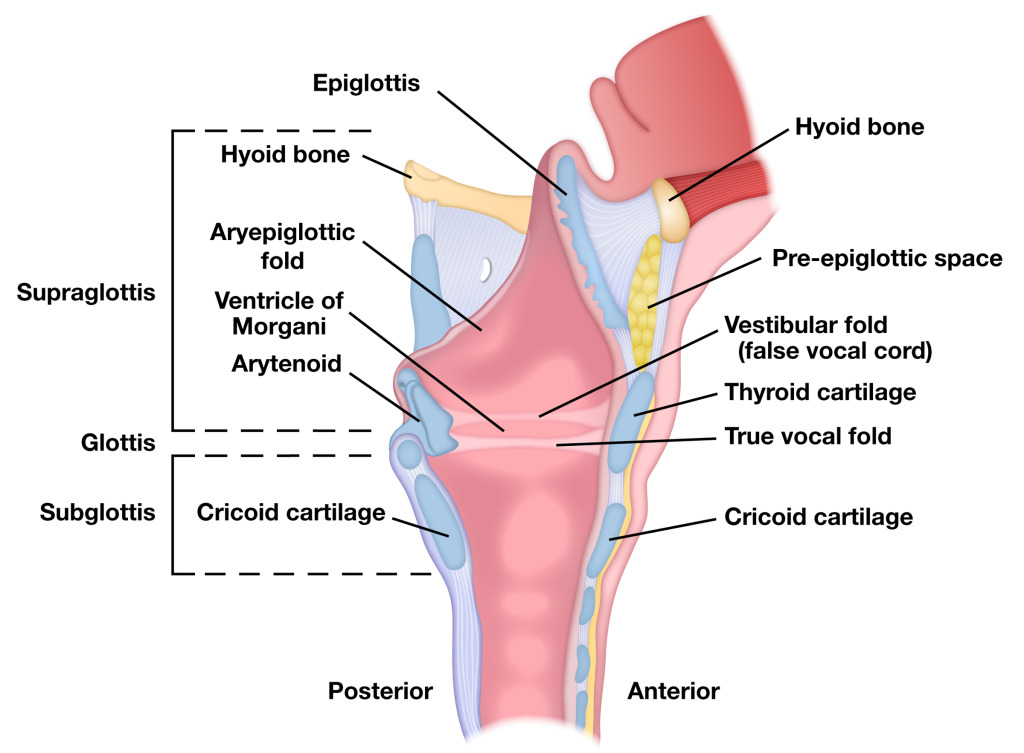 Cross-Section of Larynx