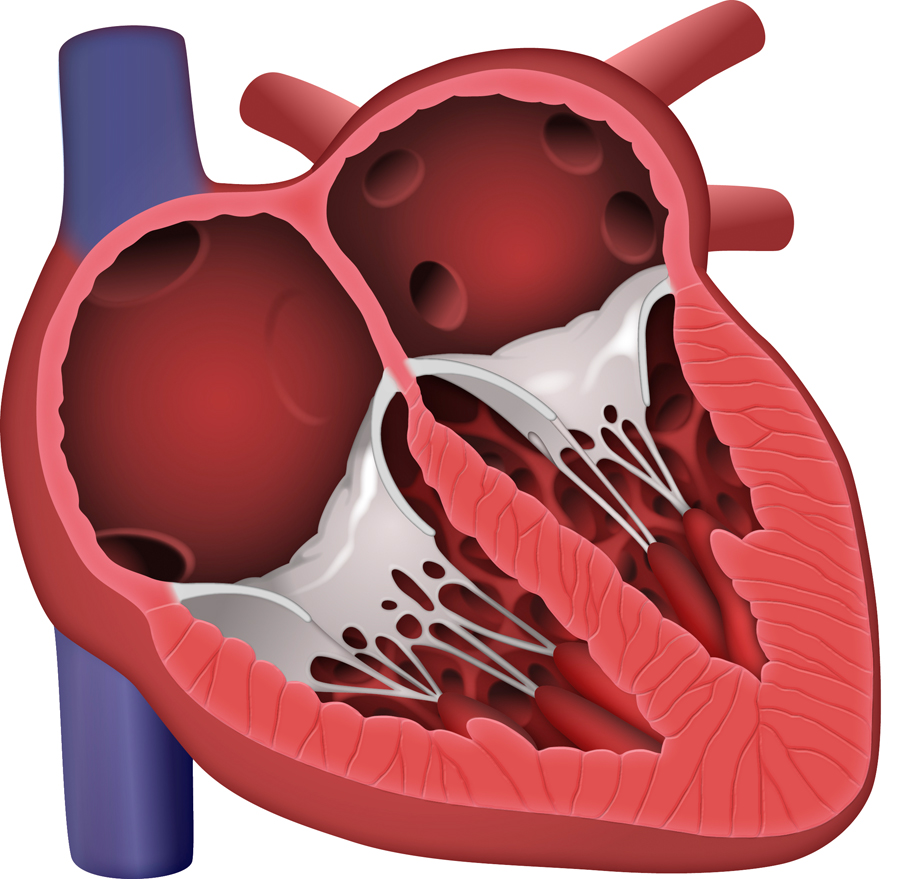 Normal Heart Cross-Section